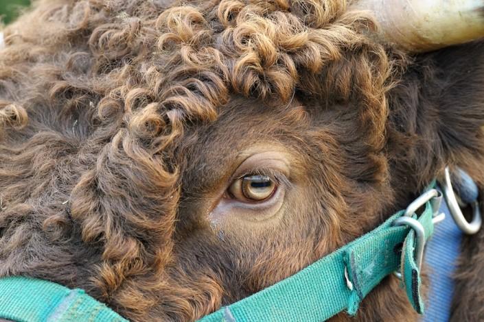 Das Auge von Dexter Bulle Iggy